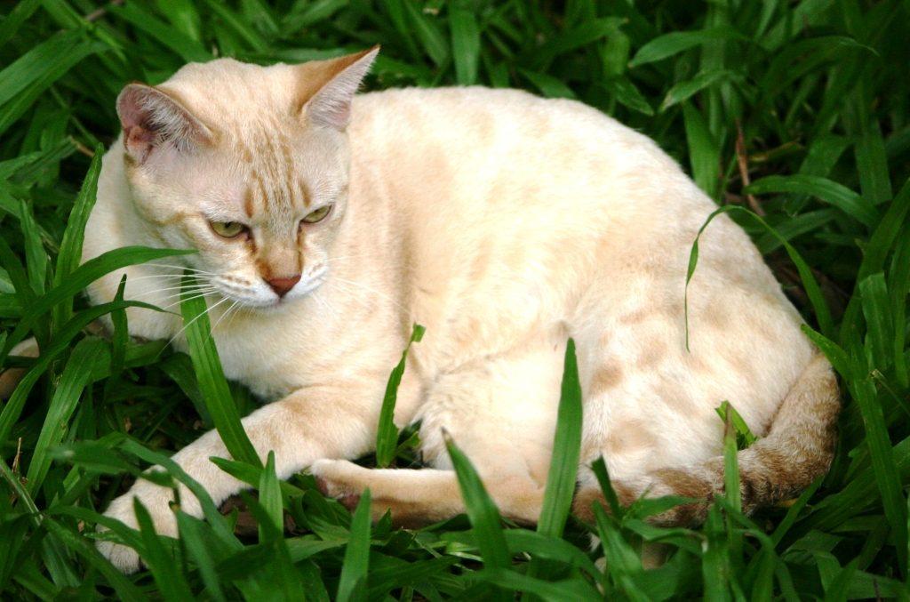дымчатая кошка фото
