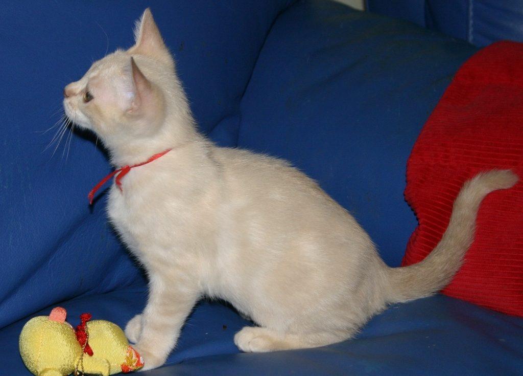 дымчатый кот фото