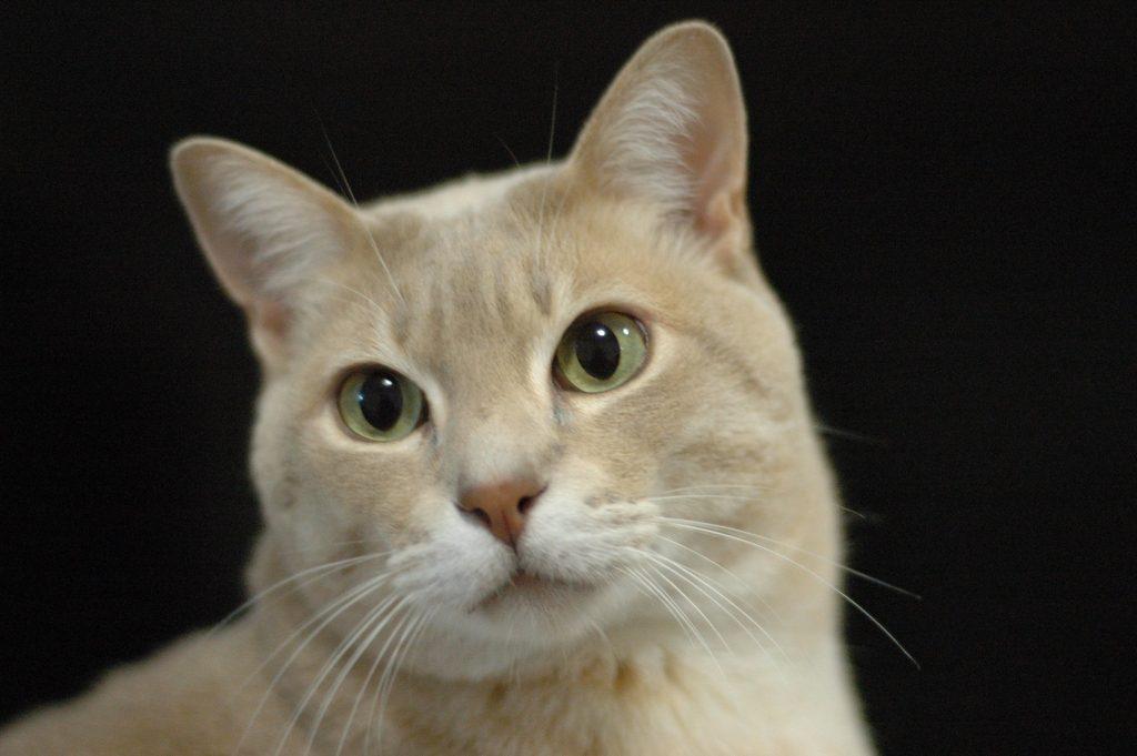кошки дымчатого окраса фото
