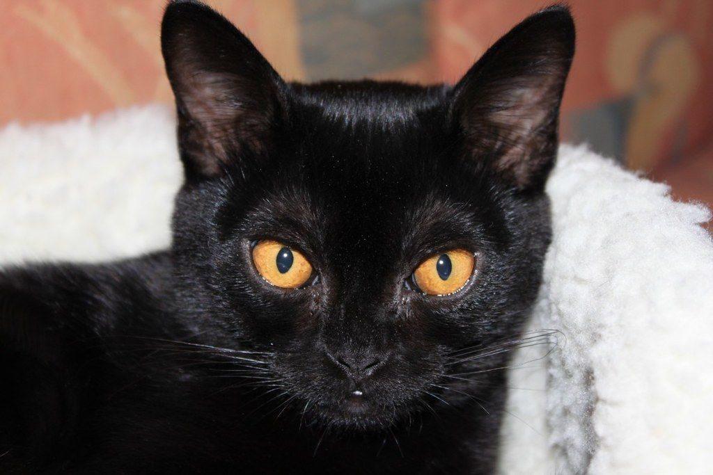 бомбейская кошка котенок