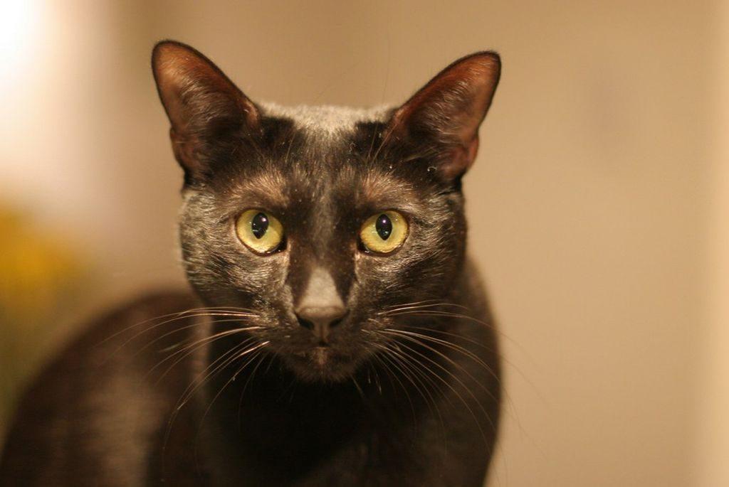 бомбейская кошка фото и описание