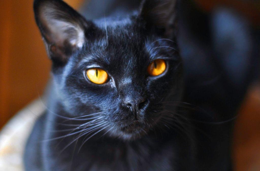 бомбейская кошка фото описание породы