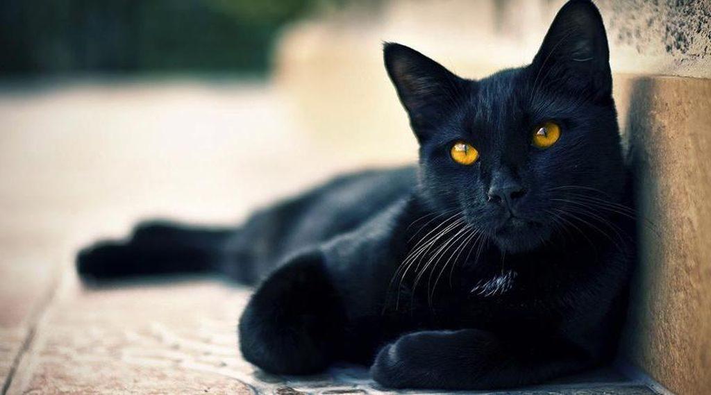 порода бомбейская кошка