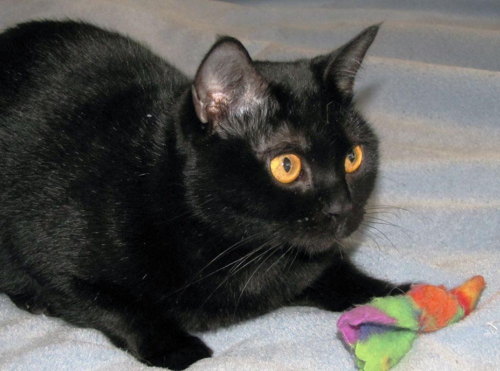 бомбейская кошка описание