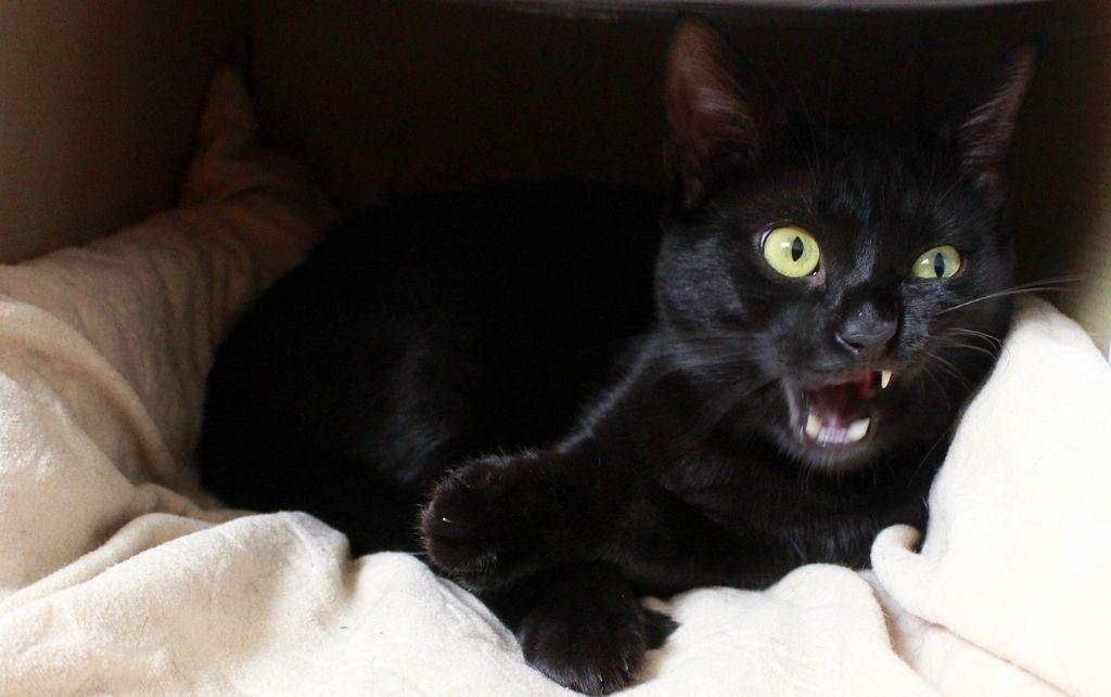 бомбейский кот фото