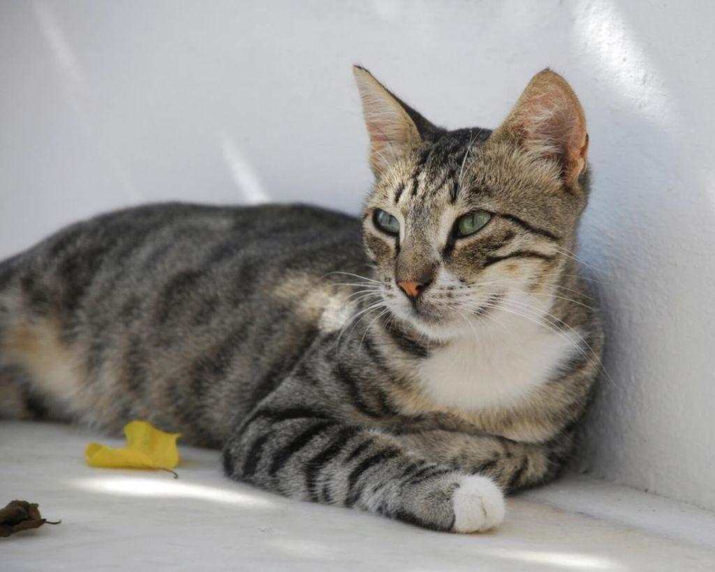 порода кошек бразильская короткошерстная
