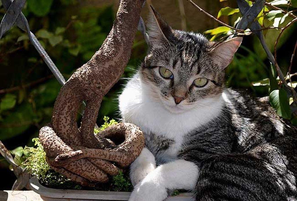 бразильская порода кошек фото