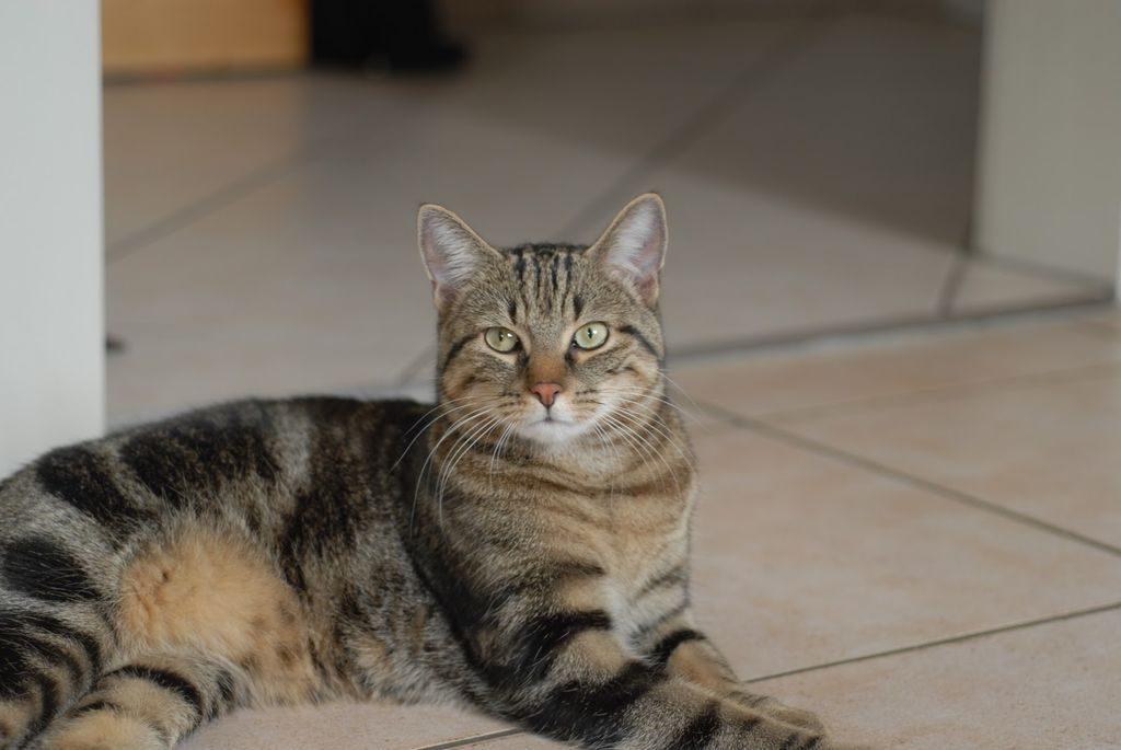 бразильский кот фото