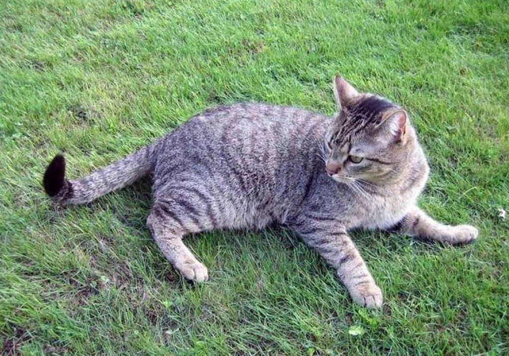 бразильская кошка фото