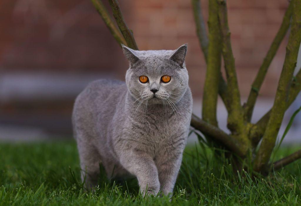 фото британских кошек всех окрасов