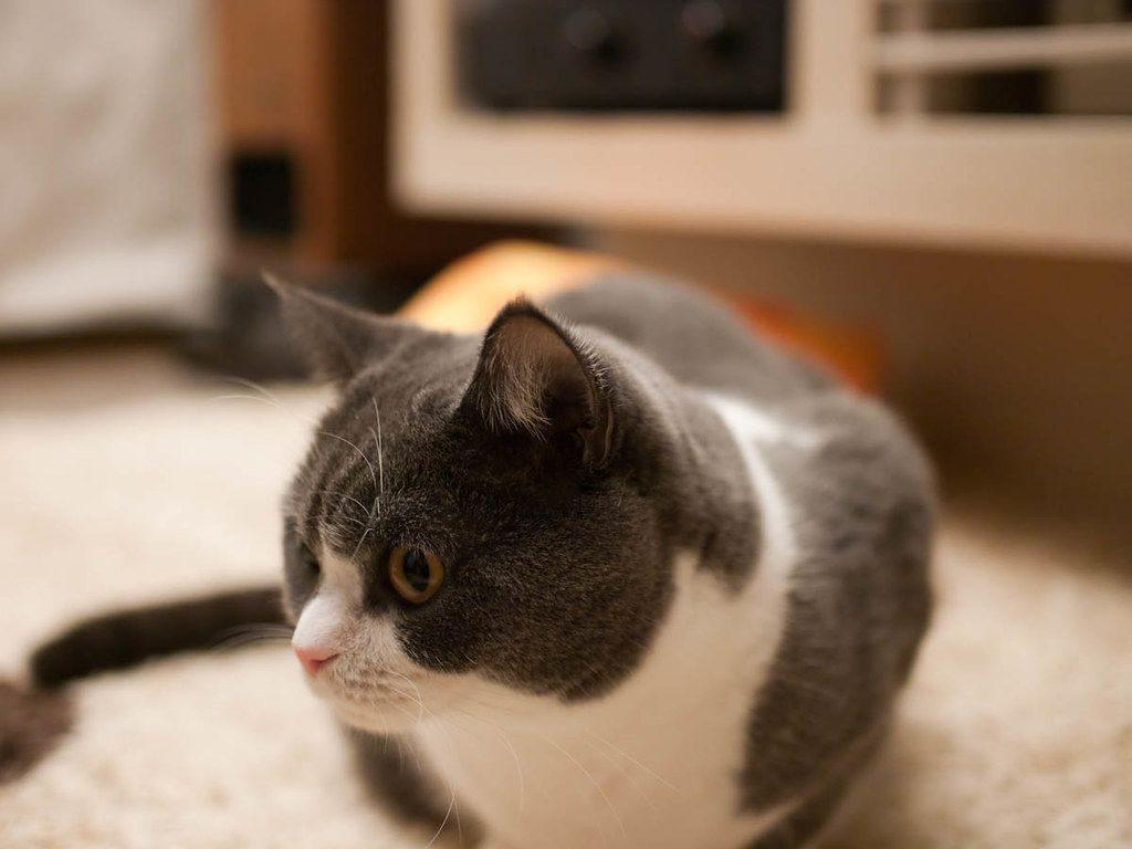 британские котята фото