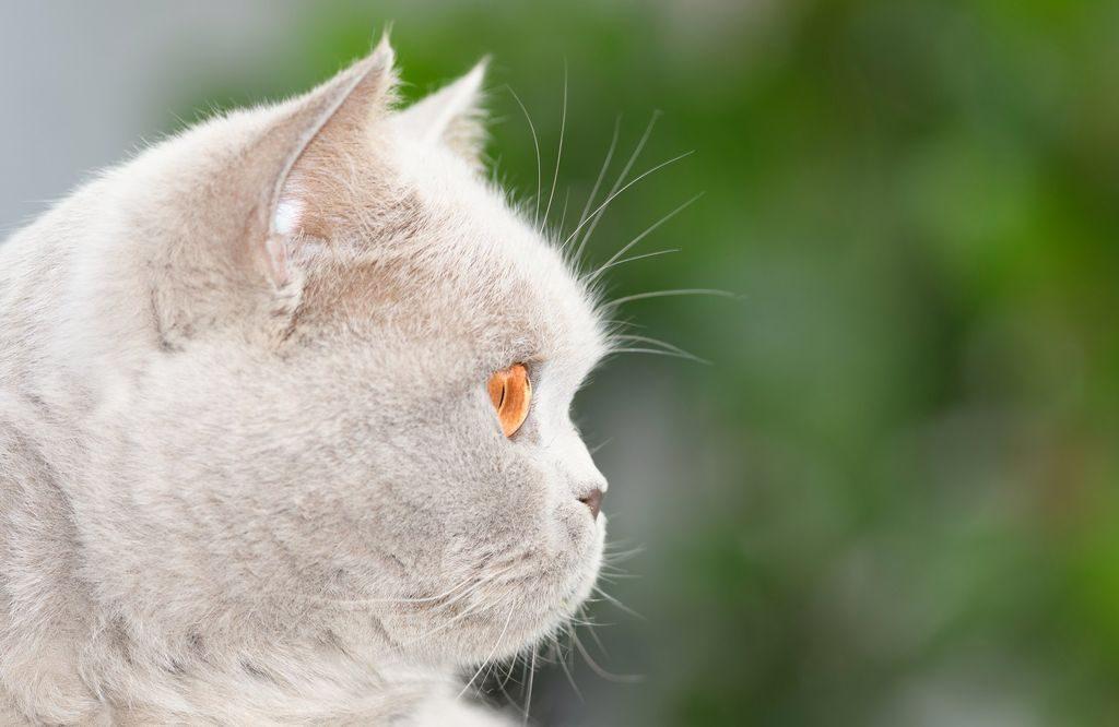 котята британцы фото
