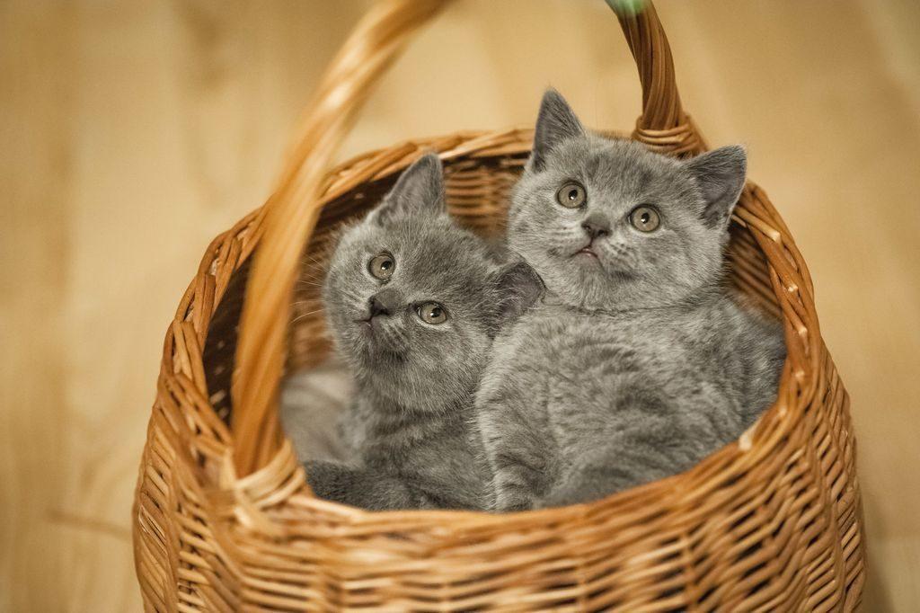 кошки британцы фото