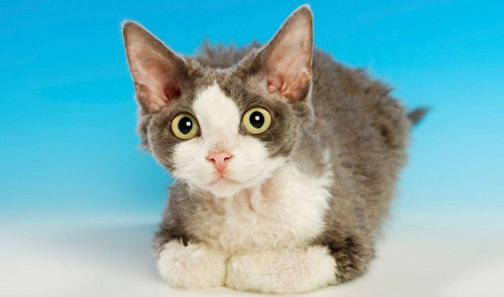 девон кошка фото