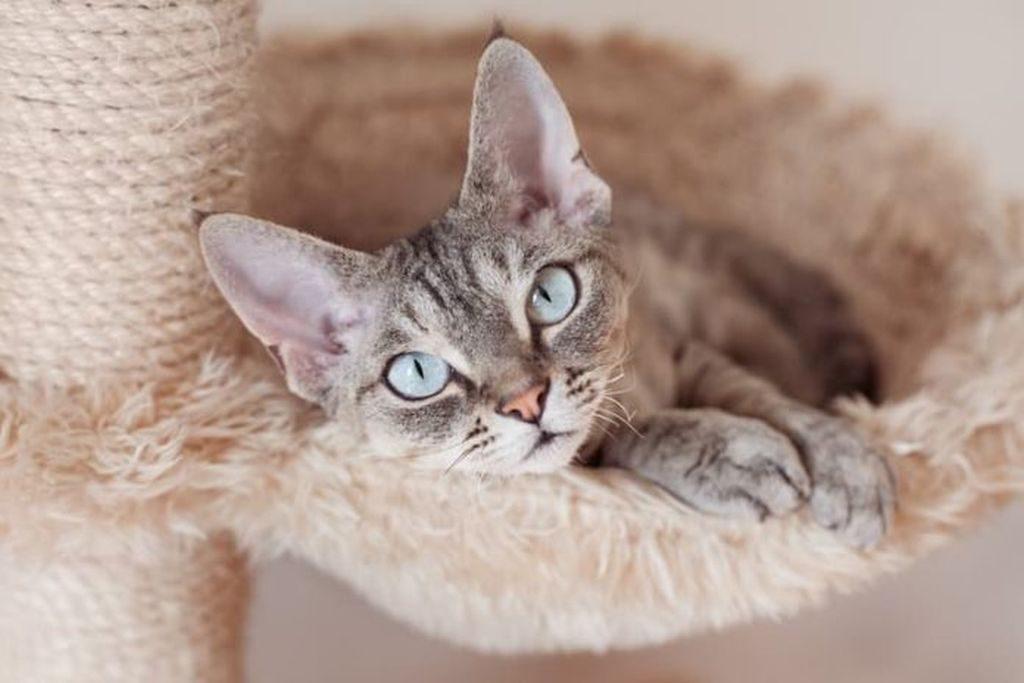 порода кошек девон