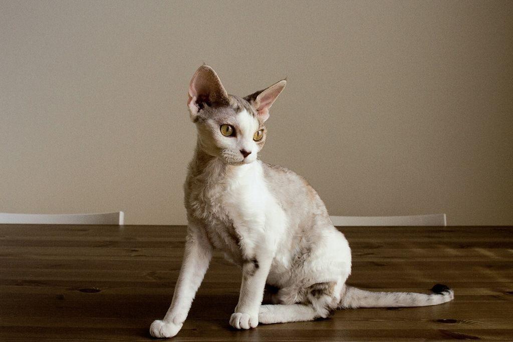 девон рекс кошка фото