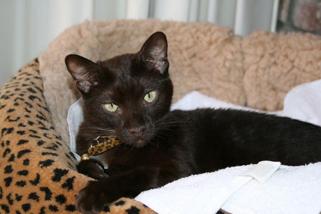 гавана порода кошек фото