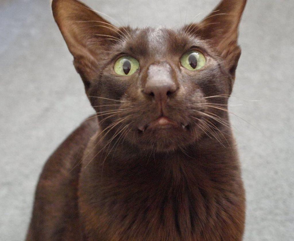 гавана кот