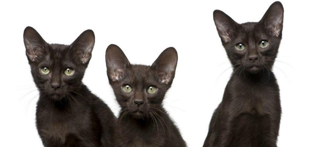 кошка браун