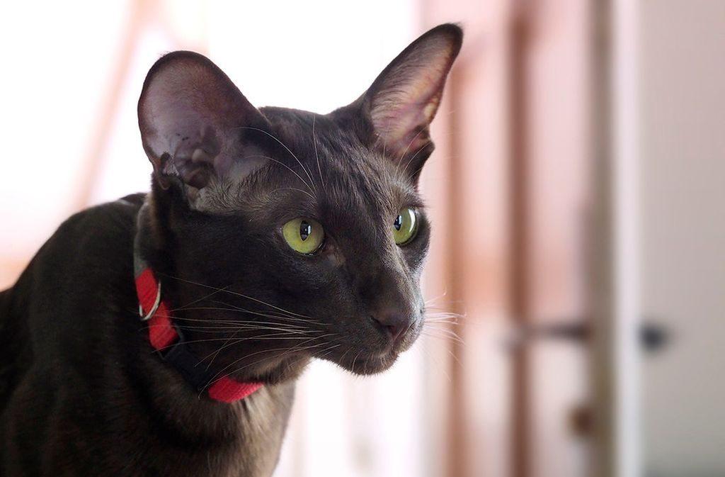 кот гавана фото