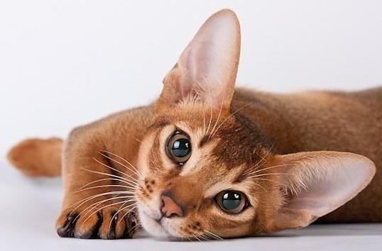 Абиссинская кошка и дети :: Домашние животные :: Для дома :: Для родителей  :: Все о детях