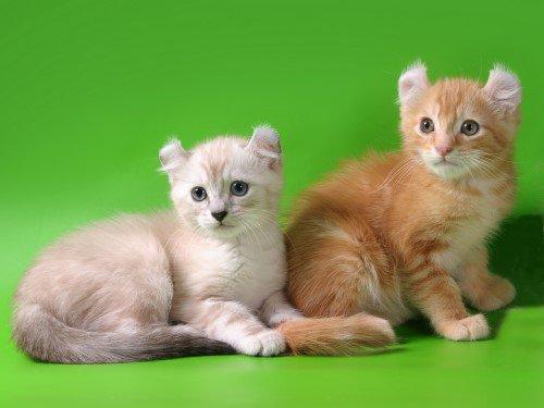 Американский керл - фото кошки, описание породы, характер