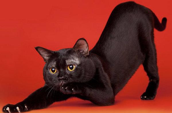 Бомбейская кошка, или бомбей: описание породы, характер, цена, содержание и  уход, фото