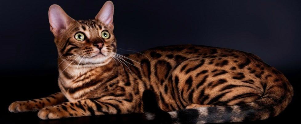 Чем кормить бенгальскую кошку?
