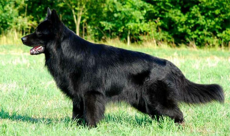 Черная немецкая овчарка – характеристика породы