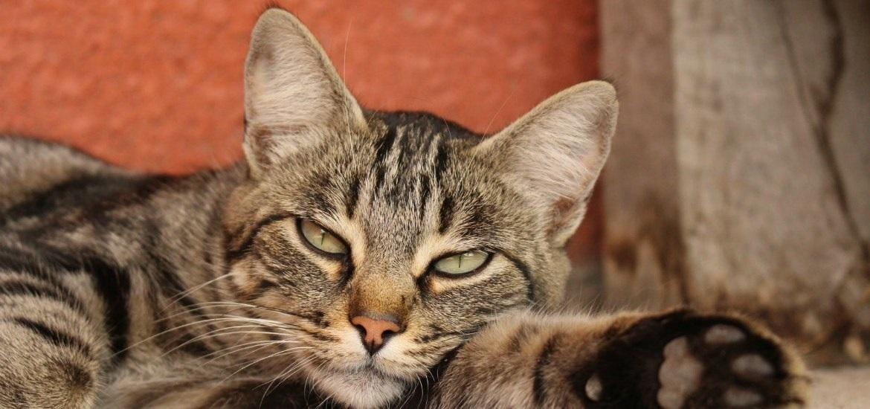 Европейская-короткошерстная-кошка-фото-025.jpg