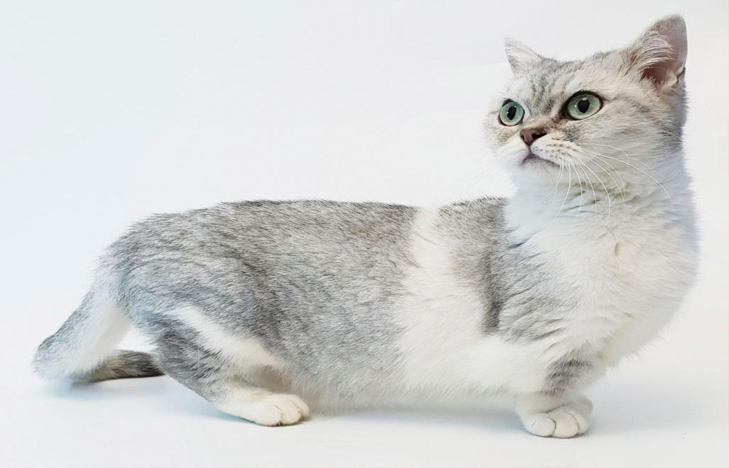 Манчкин кошка - вся информация о породе: сколько стоит и где купить, фото,  описание и характер породы, питомники, отзывы владельцев.