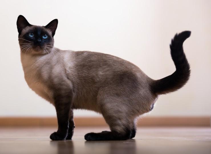 Может ли сиамская кошка быть черной? - Статьи - ilikePet