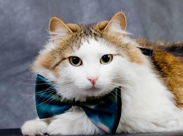 Норвежская лесная кошка: содержание (фото), подробно о содержании норвежских  лесных кошек