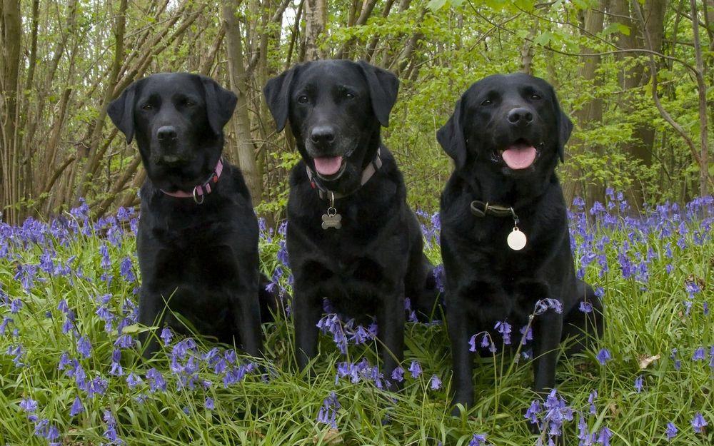 Обои Три черных собаки породы лабрадор-ретривер сидят на траве среди  сиреневых цветов на рабочий стол