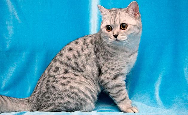 Окрасы шерсти британской кошки