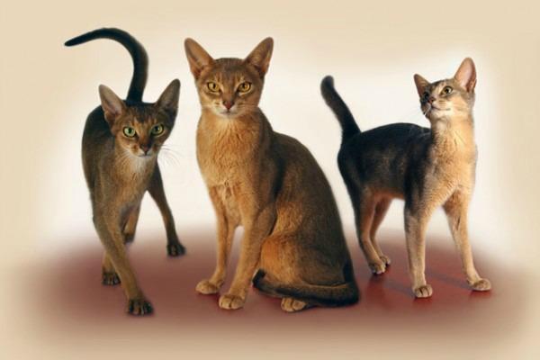 Порода кошек гладкошерстных с большими ушами. Породы кошек с фотографиями.
