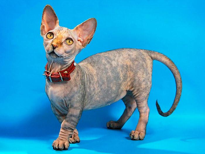 Порода кошек Минскин | Описание стандартов и характеристик