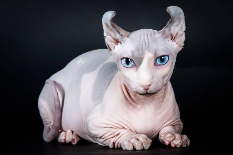 Порода кошки двэльф: характеристики, фото, характер, правила ухода и  содержания - Petstory