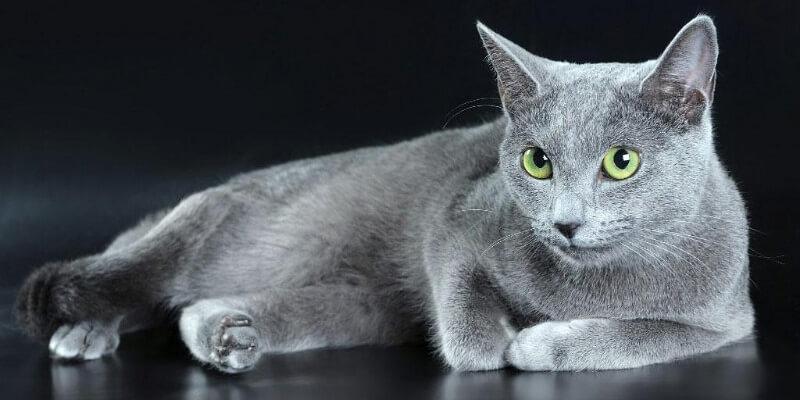 Русская голубая кошка - особенности породы, фото, цены