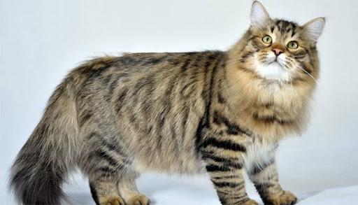 Сибирская кошка: 35 фото, описание породы, характер, цена, отзывы | Кисуля