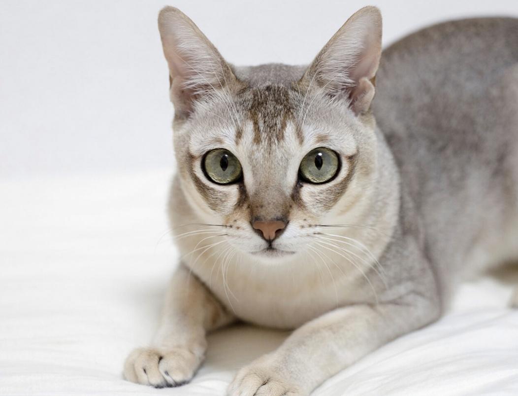 Сингапурская кошка - это очень любознательна и умная порода. Описание, фото  и отзывы о породе сингапура.