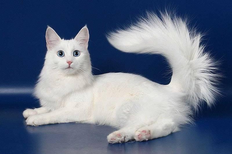 Турецкая ангора фото и описание ангорской кошки